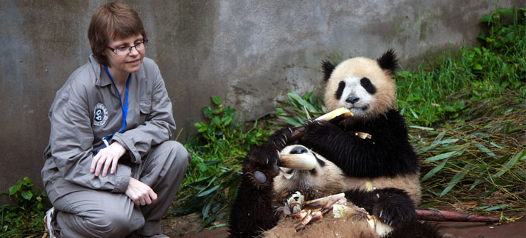 Volunteers only work directly with pandas when the bears are young.